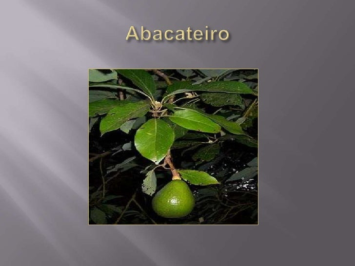 Abacateiro <br />