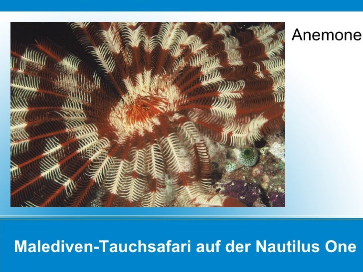 Malediven-Tauchsafari auf der Nautilus One Anemone