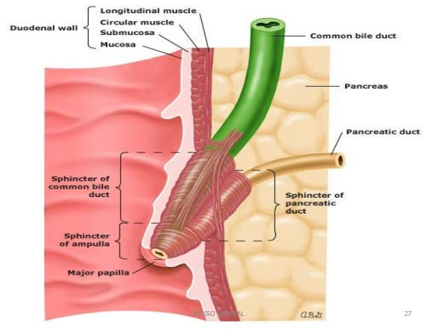 Gallbladder Diagram Gallery How To Guide And Refrence