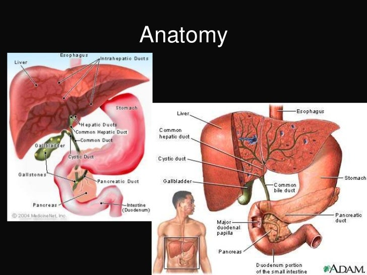 Anatomy of the liver gallbladder and biliary system