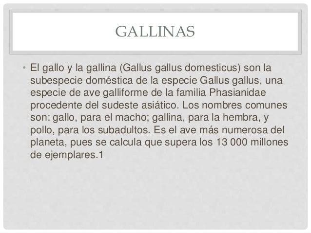 GALLINAS • El gallo y la gallina (Gallus gallus domesticus) son la subespecie doméstica de la especie Gallus gallus, una e...