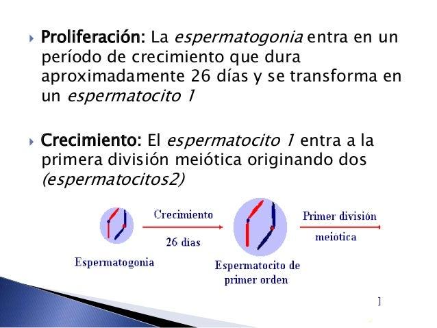  Proliferación: La espermatogonia entra en un período de crecimiento que dura aproximadamente 26 días y se transforma en ...