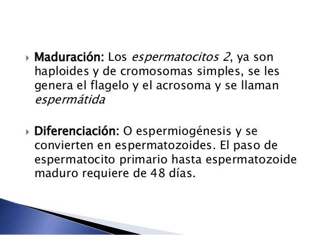  Maduración: Los espermatocitos 2, ya son haploides y de cromosomas simples, se les genera el flagelo y el acrosoma y se ...