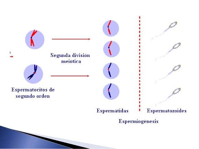  Proceso de formación de los gametos femeninos  Se forma en los ovarios se ubican en los folículos ováricos, crecen y ti...