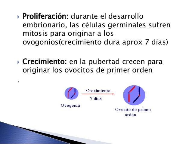  Maduración: El ovocito de primer orden entra a la primera división meiótica originando 2 células, una grande llamada ovo...