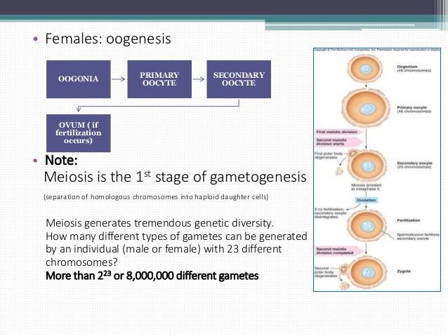 Gametogenesis Slide 3