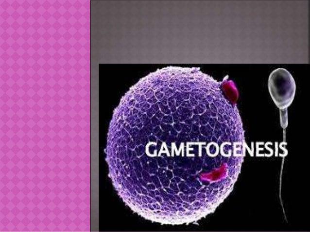  Es la formación de gametos por medio de la meiosis a partir de células germinales. Mediante este proceso, el número de c...