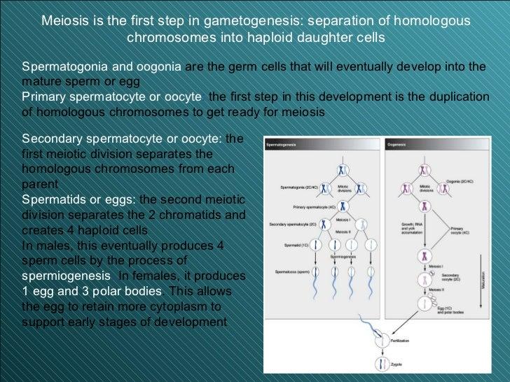 Reproduccion asexual gametogenesis ppt