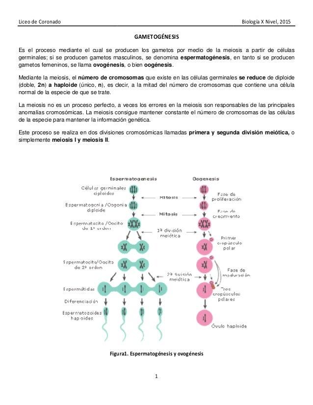 Liceo de Coronado Es el proceso mediante el cual se producen los gametos por medio de la meiosis a partir de células germi...