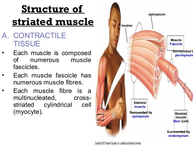 General Anatomy Of Muscles