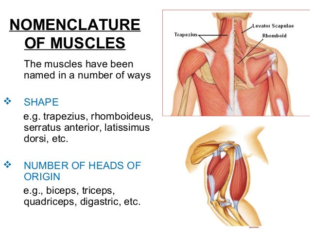 general anatomy of muscles, Muscles