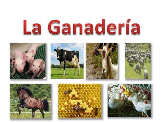 La ganadería es una de las principales actividades en las zonas rurales . Esta es la cría de animales domésticos con el pr...