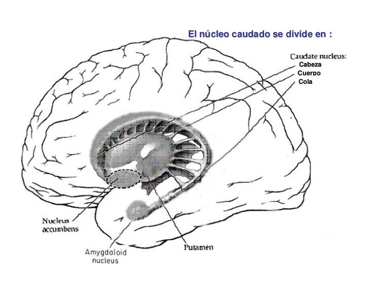 El núcleo caudado se divide en :                                        Cabeza                                      Cuerpo...