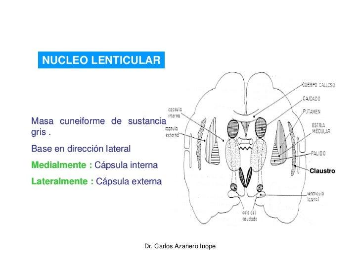 NUCLEO LENTICULAR     Masa cuneiforme de sustancia gris . Base en dirección lateral Medialmente : Cápsula interna         ...