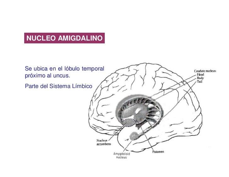 NUCLEO AMIGDALINO    Se ubica en el lóbulo temporal próximo al uncus. Parte del Sistema Límbico                           ...