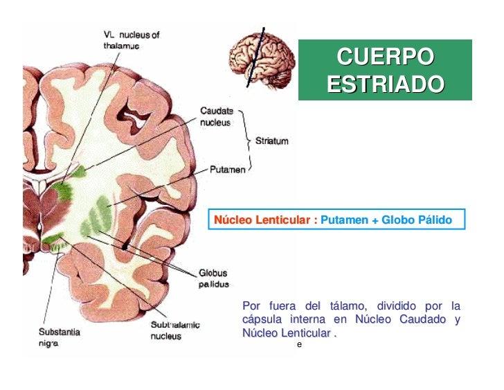 CUERPO                            ESTRIADO       Núcleo Lenticular : Putamen + Globo Pálido              Por fuera del tál...