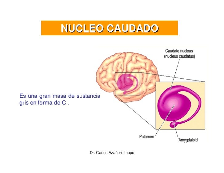 NUCLEO CAUDADO     Es una gran masa de sustancia gris en forma de C .                              Dr. Carlos Azañero Inope