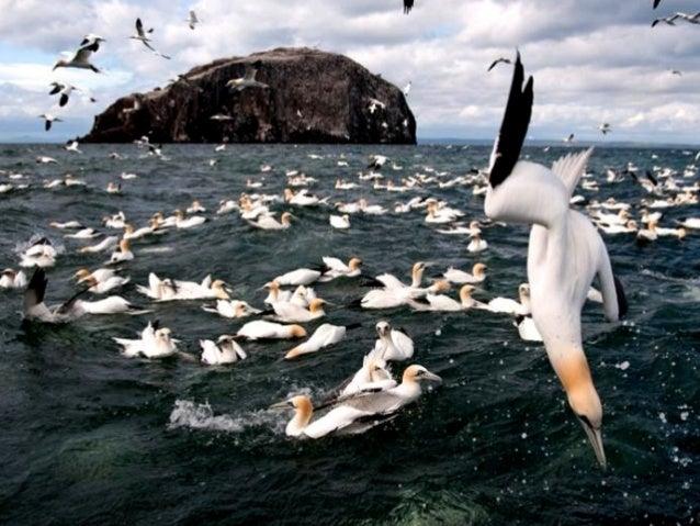 Photographer Richard Shucksmith  Gannets dive for fish in Shetland