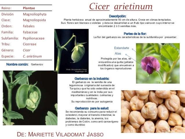 Reino:        Plantae                                 Cicer arietinumDivisión      Magnoliophyta                          ...