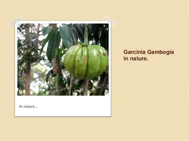 Garcinia gambogia Slide 2