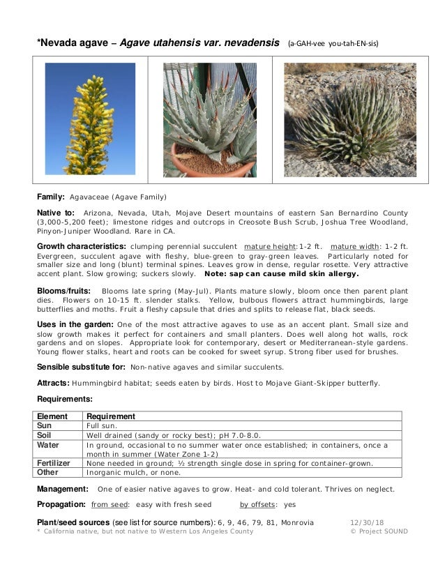 *Nevada agave – Agave utahensis var. nevadensis (a-GAH-vee you-tah-EN-sis) Family: Agavaceae (Agave Family) Native to: Ari...