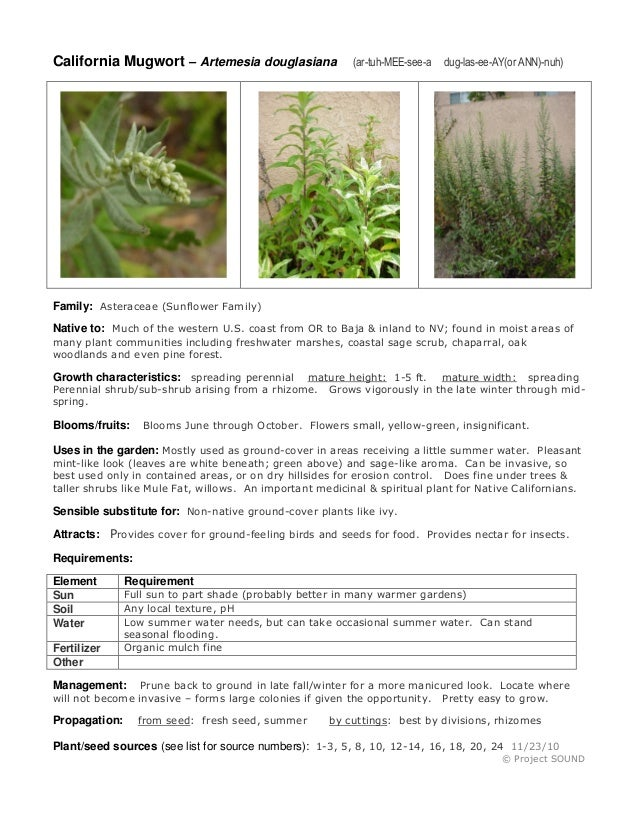 California Mugwort – Artemesia douglasiana  (ar-tuh-MEE-see-a  dug-las-ee-AY(or ANN)-nuh)  Family: Asteraceae (Sunflower F...
