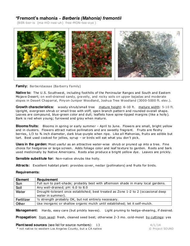 *Fremont's mahonia – Berberis (Mahonia) fremontii (BER-ber-is (ma-HO-nee-uh) free-MON-tee-eye ) Family: Berberidaceae (Bar...
