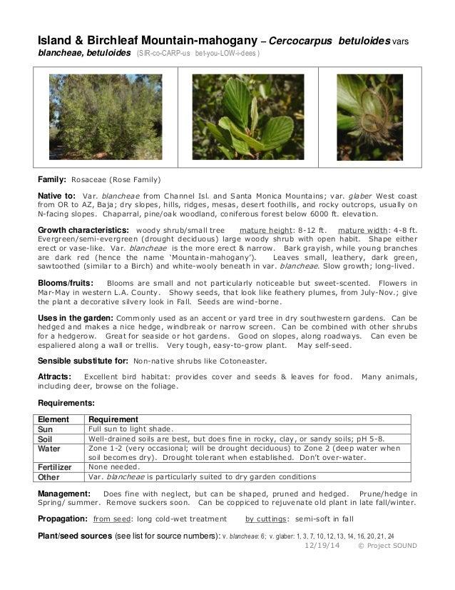 Island & Birchleaf Mountain-mahogany – Cercocarpus betuloides vars blancheae, betuloides (SIR-co-CARP-us bet-you-LOW-i-dee...