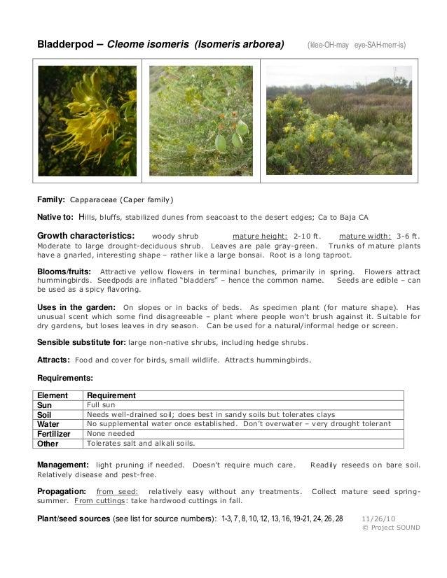 Bladderpod – Cleome isomeris (Isomeris arborea)  (klee-OH-may eye-SAH-merr-is)  Family: Capparaceae (Caper family) Native ...