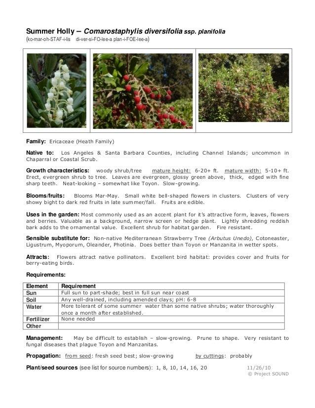 Summer Holly – Comarostaphylis diversifolia ssp. planifolia (ko-mar-oh-STAF-i-lis di-ver-si-FO-lee-a plan-i-FOE-lee-a)  Fa...