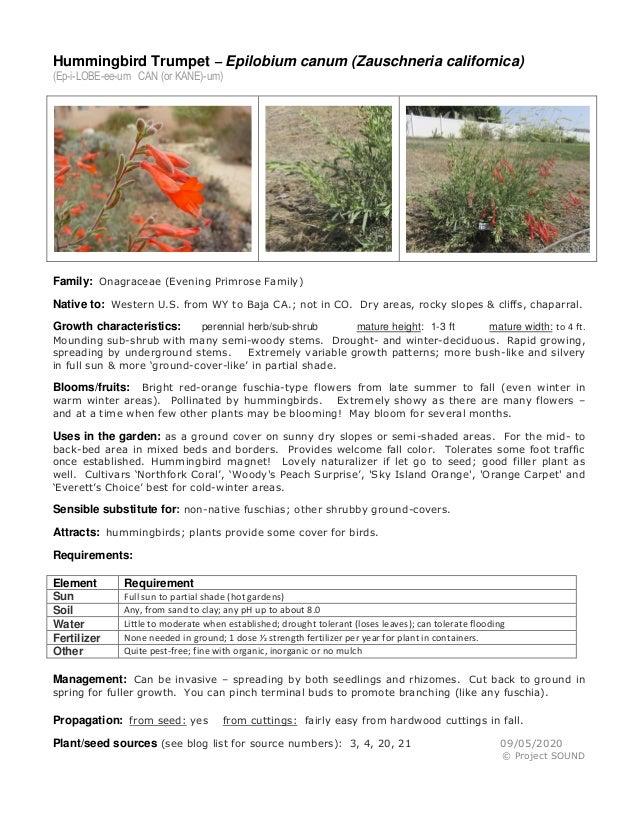 Hummingbird Trumpet – Epilobium canum (Zauschneria californica) (Ep-i-LOBE-ee-um CAN (or KANE)-um) Family: Onagraceae (Eve...