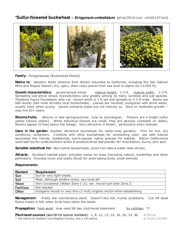 *Sulfur-flowered buckwheat – Eriogonum umbellatum (air-ee-OG-oh-num um-bell-LAY-tum) Family: Polygonaceae (Buckwheat Famil...