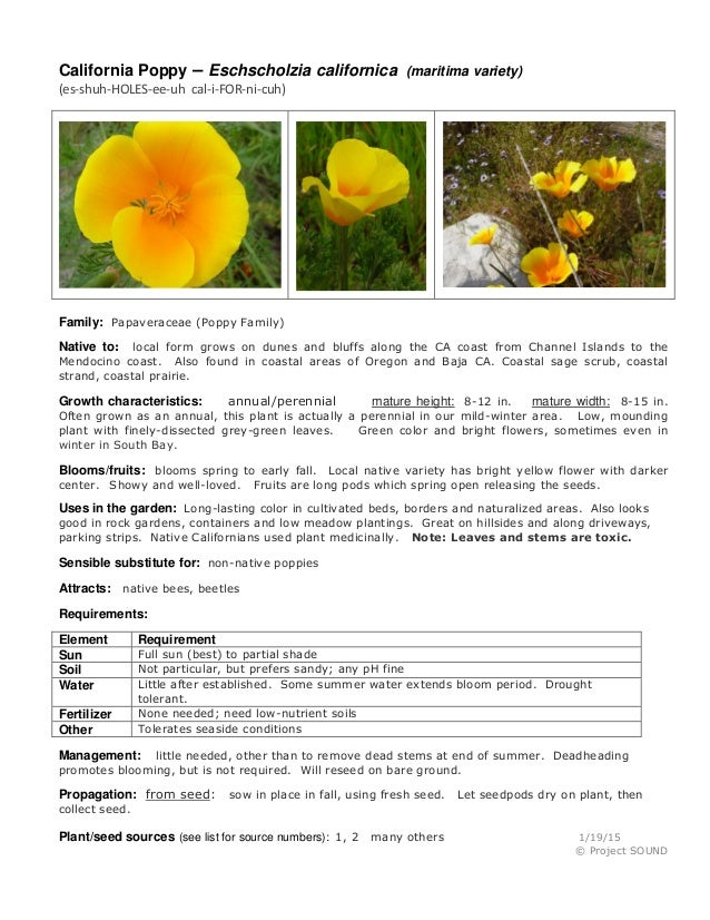 California Poppy – Eschscholzia californica (maritima variety) (es-shuh-HOLES-ee-uh cal-i-FOR-ni-cuh) Family: Papaveraceae...