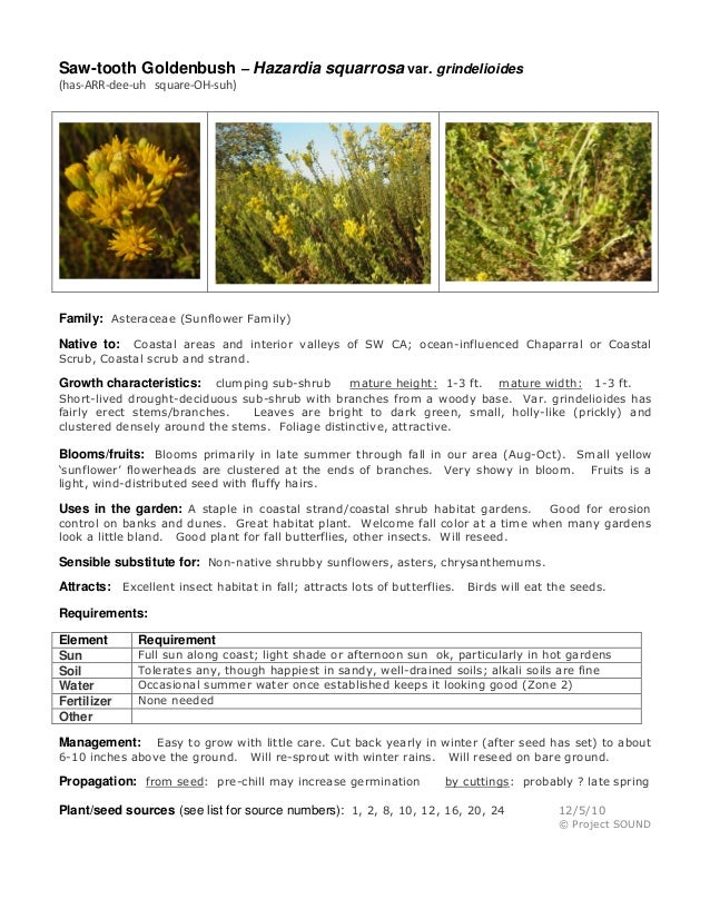 Saw-tooth Goldenbush – Hazardia squarrosa var. grindelioides (has-ARR-dee-uh square-OH-suh)  Family: Asteraceae (Sunflower...