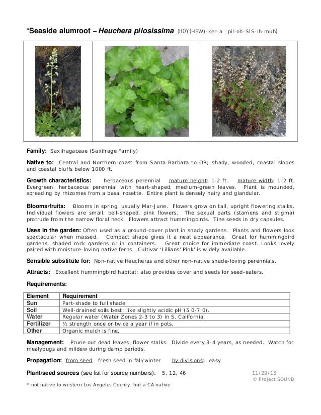 *Seaside alumroot – Heuchera pilosissima (HOY(HEW)-ker-a pil-oh-SIS-ih-muh) Family: Saxifragaceae (Saxifrage Family) Nativ...