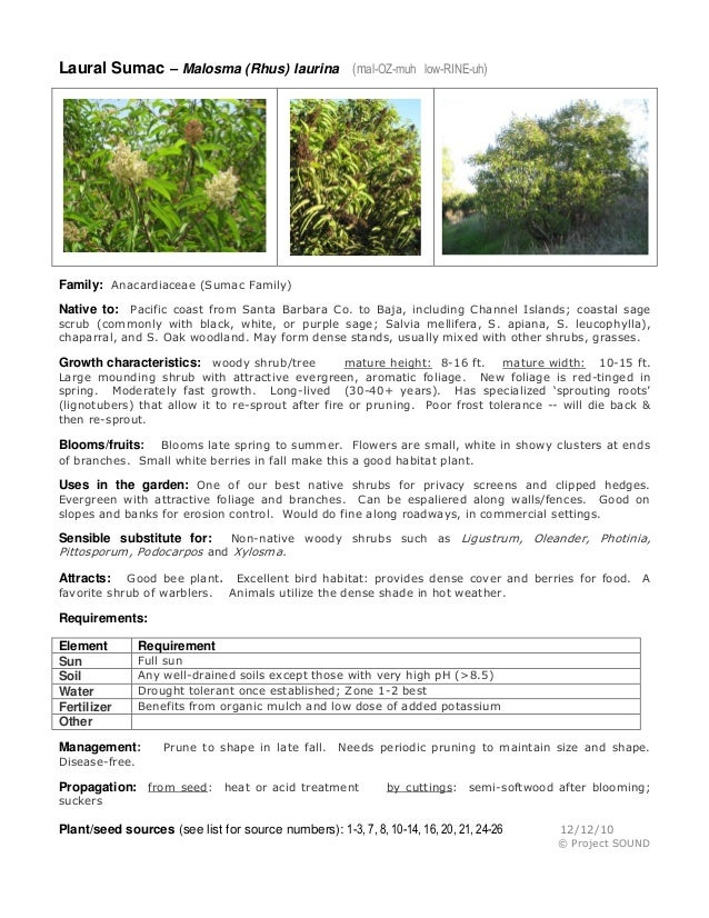 Laural Sumac – Malosma (Rhus) laurina (mal-OZ-muh  low-RINE-uh)  Family: Anacardiaceae (Sumac Family) Native to: Pacific c...