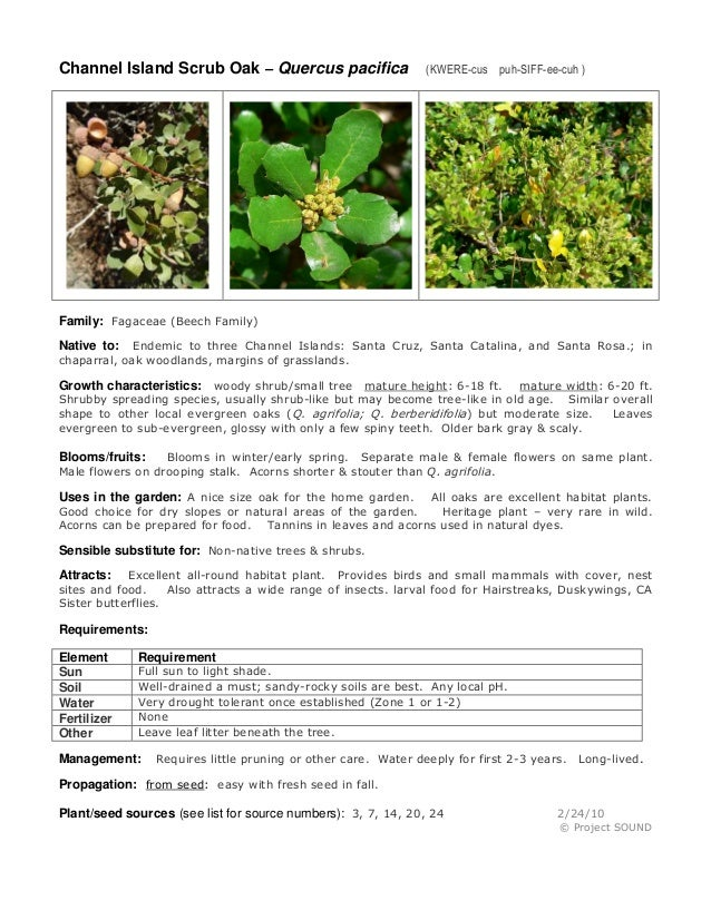 Channel Island Scrub Oak – Quercus pacifica  (KWERE-cus puh-SIFF-ee-cuh )  Family: Fagaceae (Beech Family) Endemic to thre...