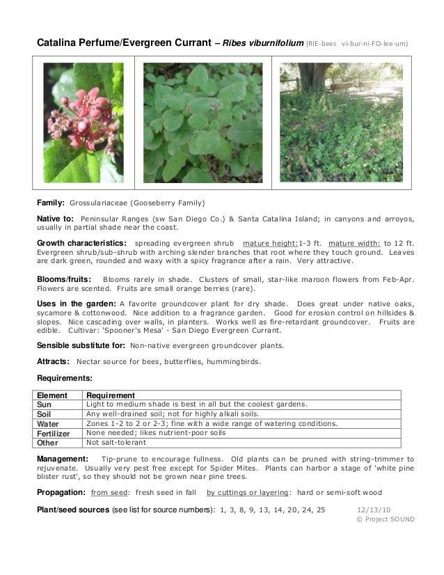 Catalina Perfume/Evergreen Currant – Ribes viburnifolium (RIE-bees vi-bur-ni-FO-lee-um) Family: Grossulariaceae (Gooseberr...
