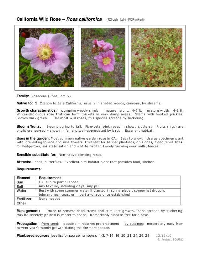 California Wild Rose – Rosa californica  (RO-zuh kal-ih-FOR-nik-uh)  Family: Rosaceae (Rose Family) Native to: S. Oregon t...