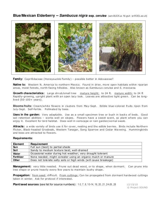Blue/Mexican Elderberry – Sambucus nigra ssp. cerulea  (sam-BUCK-us NI-gruh sir-ROOL-ee-uh)  Family: Caprifoliaceae (Honey...