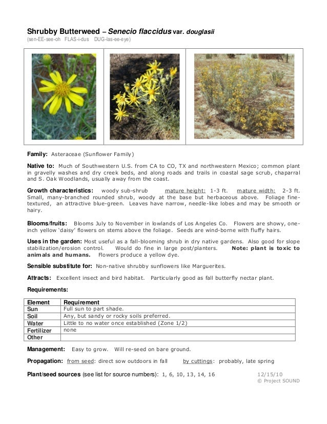 Shrubby Butterweed – Senecio flaccidus var. douglasii (sen-EE-see-oh FLAS-i-dus DUG-las-ee-eye)  Family: Asteraceae (Sunfl...