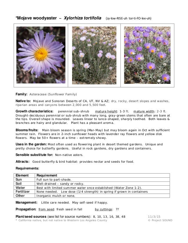 *Mojave woodyaster – Xylorhiza tortifolia (zy-low-RISE-uh tor-ti-FO-lee-uh) Family: Asteraceae (Sunflower Family) Native t...