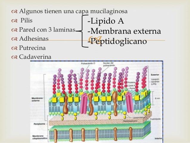 Gardnerella vaginalis Slide 3