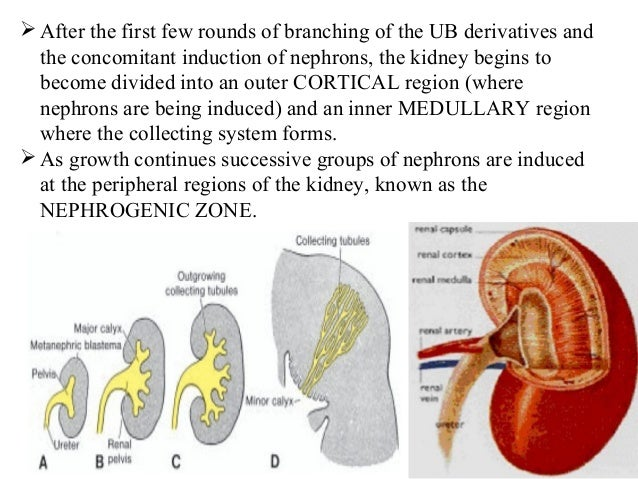 Development of Kidney