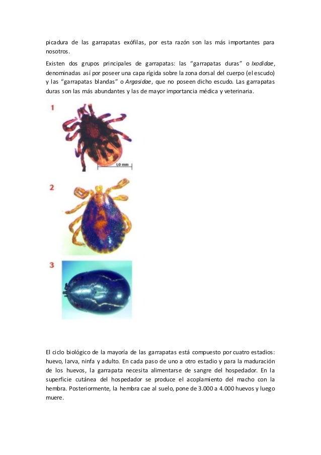 picadura de las garrapatas exófilas, por esta razón son las más importantes para nosotros. Existen dos grupos principales ...