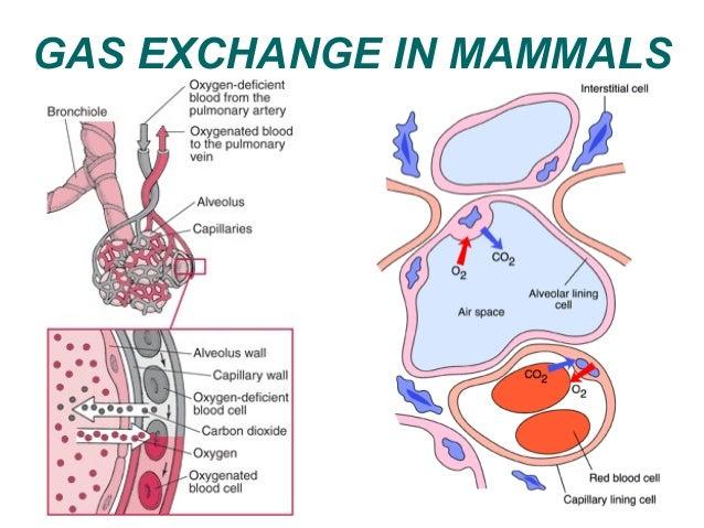 Gas exchange in animals by madeleine gas exchange in mammals 28 ccuart Choice Image