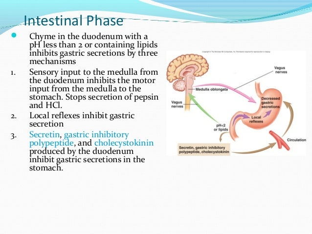 gastrointestinal physiology, Human Body