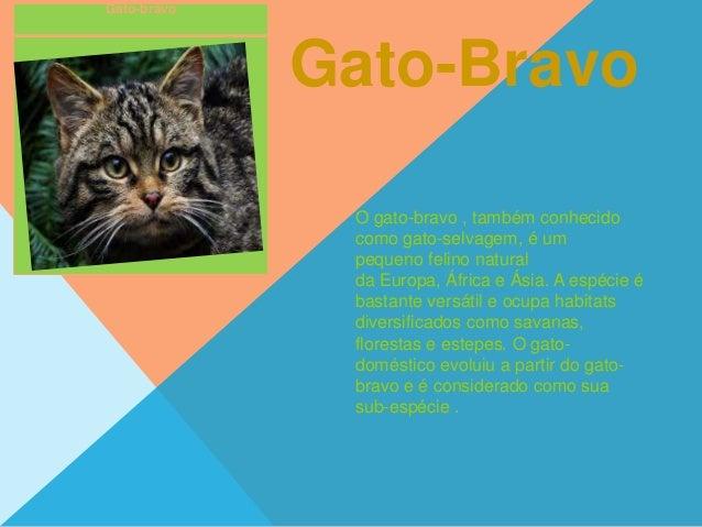 Gato-bravo Gato-Bravo O gato-bravo , também conhecido como gato-selvagem, é um pequeno felino natural da Europa, África e ...