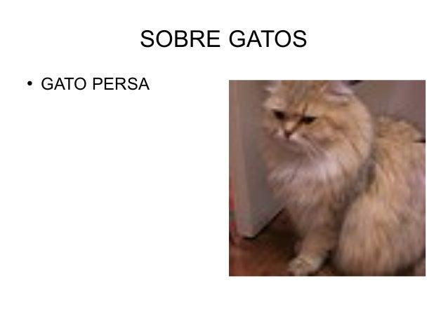SOBRE GATOS ● GATO PERSA