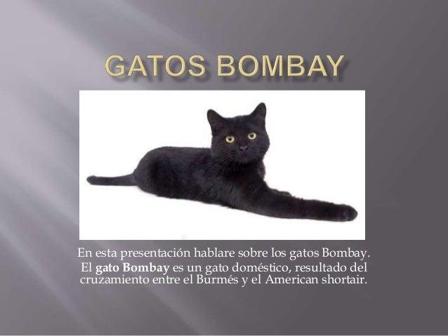 En esta presentación hablare sobre los gatos Bombay. El gato Bombay es un gato doméstico, resultado del cruzamiento entre ...